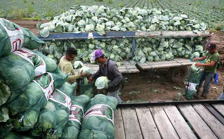 Undocumented migrant workers harvest cabbage in a field near Mission, Texas.