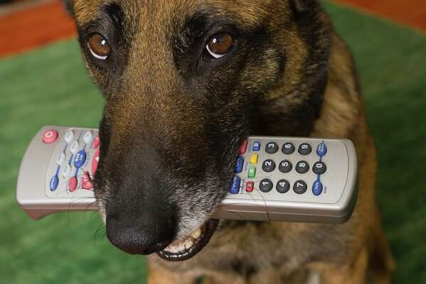 Dog with remote control in its mouth.