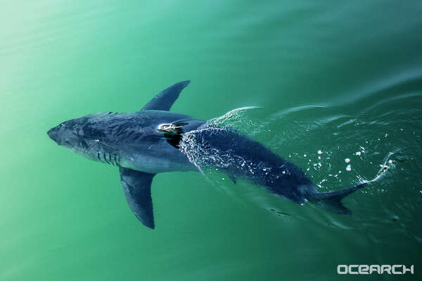 Miss Costa, a great white shark, was recently tracked in the Gulf of Mexico off the Florida panhandle. Experts say she and other great whites could make their way to the Texas coast.