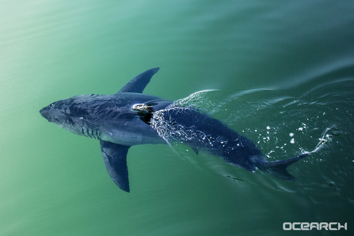 Several great white sharks spotted in the Gulf, and more are behind them