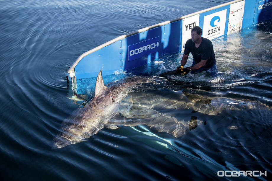 """OCEARCH, a a non-profit organization and a recognized world leader in generating critical scientific data related to tracking and biological studies of large apex predators such as great white sharks and other keystone marine species, is watching closely as a large female white shark named Miss Costa cruises off the coast of the Florida Panhandle south of Panama City""