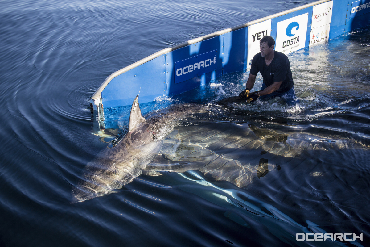 1,200-pound great white shark spotted in the Gulf...and she's not alone