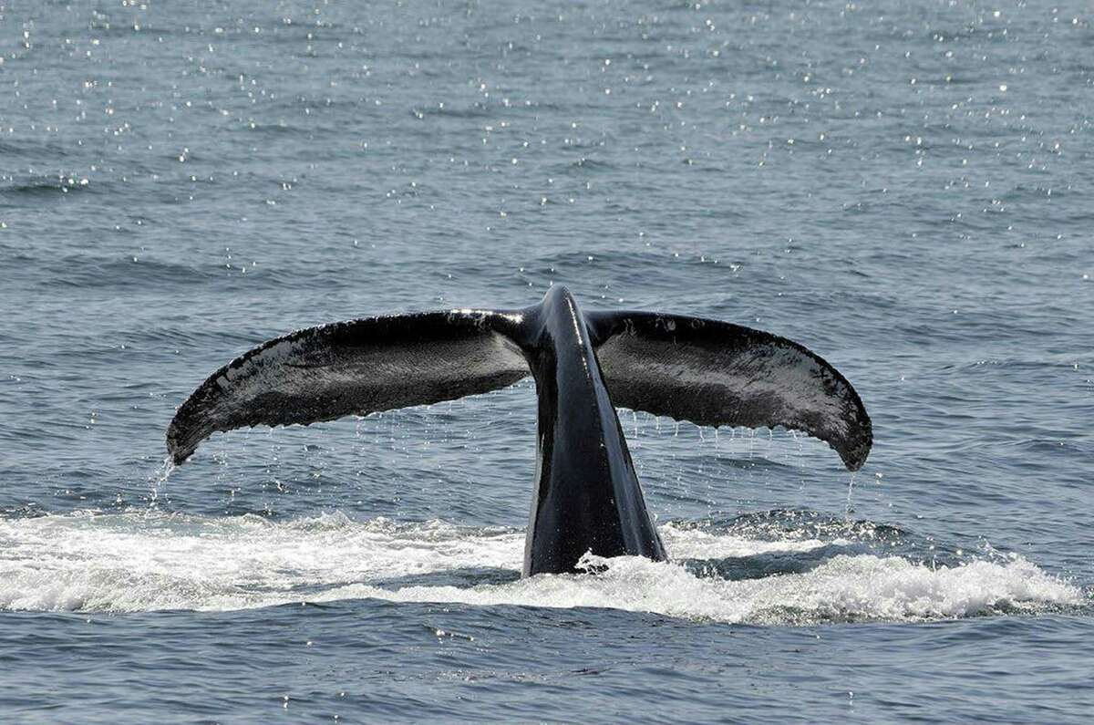 A humpback whale tail rises above water.