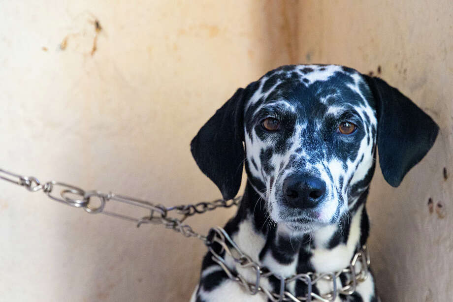 "The ""Adequate Shelter and Restraint Bill"" would make it a criminal offense if owners unlawfully restrained their dogs with chain leashes and do not provide adequate shelter for their animals. Photo: Roberto Machado Noa/LightRocket Via Getty Images / © 2016 Roberto Machado Noa"