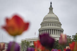 Tulips grow in front of the U.S. Capitol Building in Washington, D.C., U.S., on April 18, 2019.
