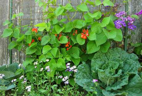 Trellised scarlet runner beans blooming in spring, growing with  cabbage and the ornamentals  Virginia stock and cineraria.
