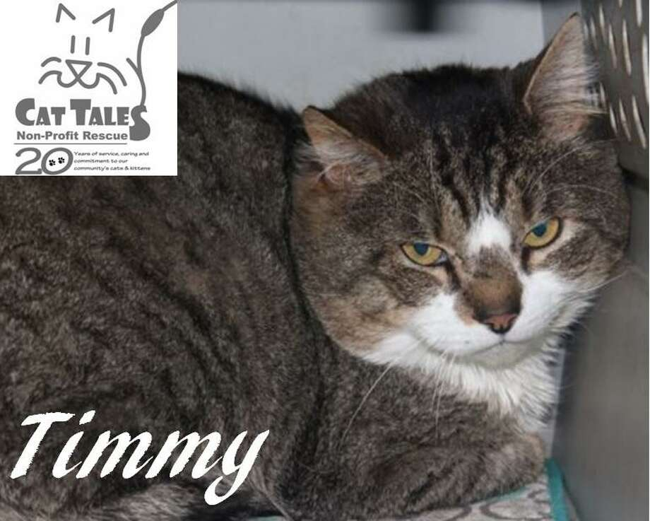 "Timmy is a brown tabby, about 7 years old. He says, ""I was found as a stray. I am a very, very sweet and laid back cat. I am FeLV positive though so I must be the only cat or with another cat that has FeLV. FeLV is the feline leukemia virus which is contagious to other cats but not to humans. I am hoping and keeping my paws crossed that I still get a forever home even though I have FeLV. I have so much love to give and would love to cuddle with you every day. Please, please adopt me.""  Visit http://www.CatTalesCT.org/cats/Timmy-2, email info@CatTalesCT.org, or call 860-344-9043 , Watch our TV commercial: https://youtu.be/Y1MECIS4mIc Photo: Contributed Photo"