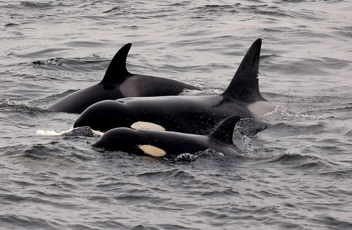 Pod of orcas in Monterey Bay.