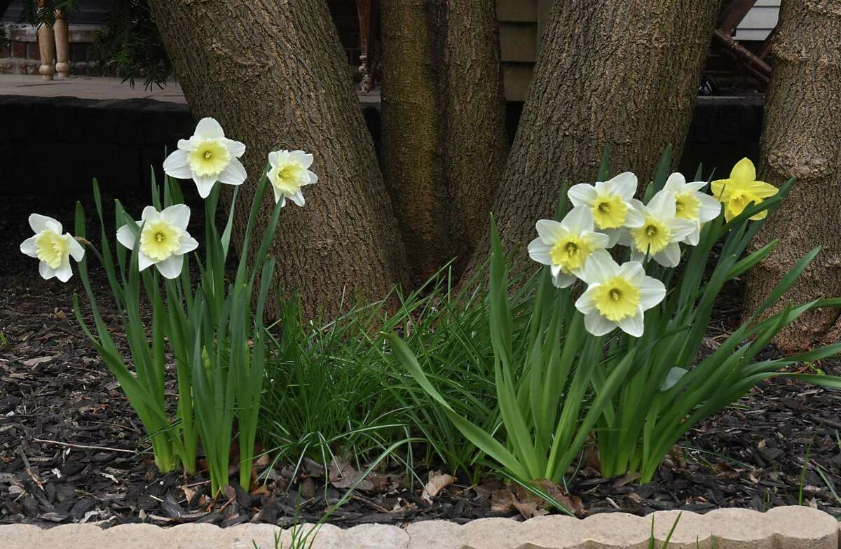 Daffodils are seen bloomed in front of a home on Friday, April 19, 2019 in Schenectady, N.Y. (Lori Van Buren/Times Union)