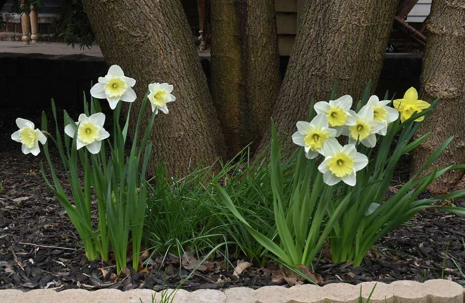 Daffodils are seen bloomed in front of a home on Friday, April 19, 2019 in Schenectady, N.Y. (Lori Van Buren/Times Union) Photo: Lori Van Buren, Albany Times Union