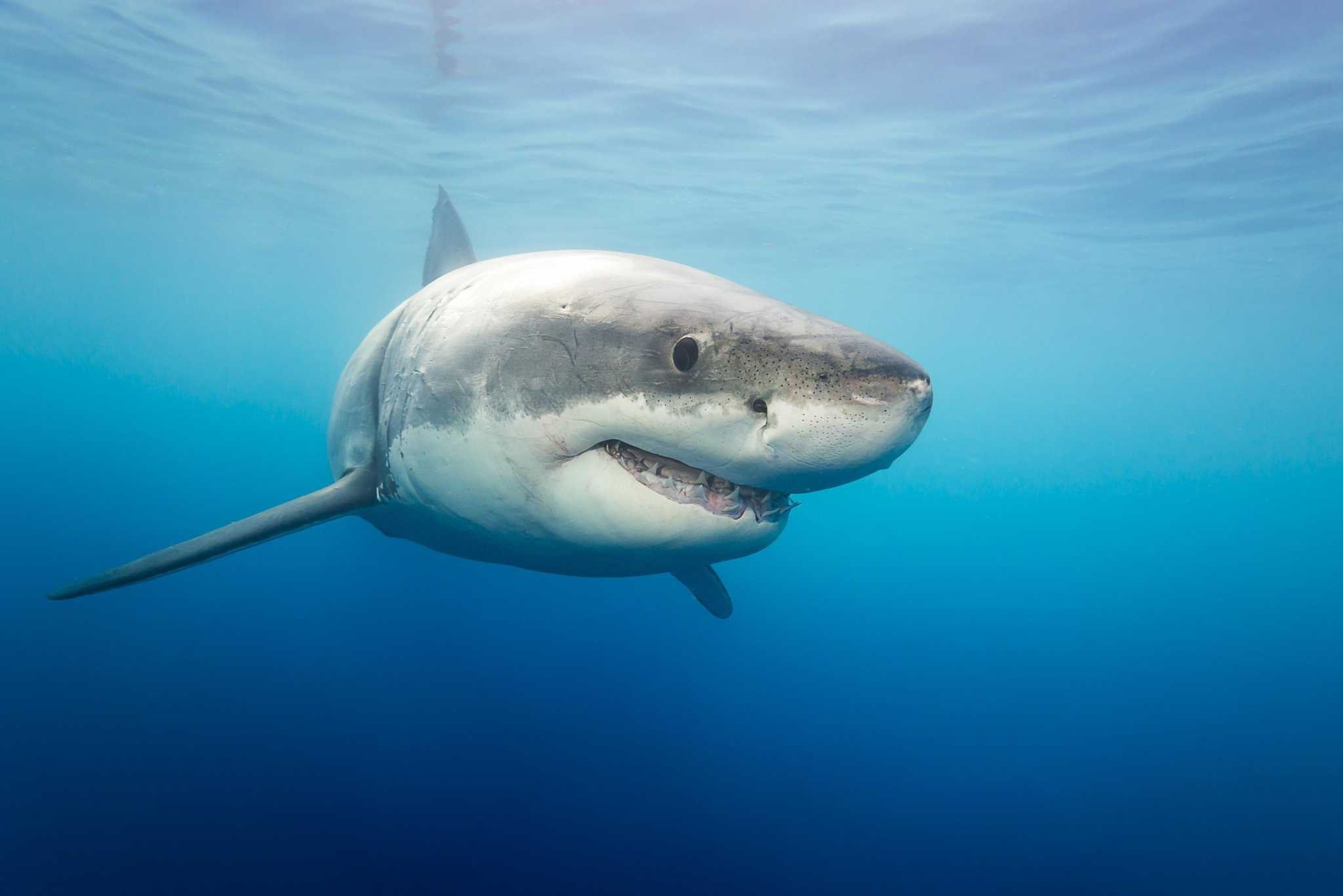 There are so many great whites at Santa Cruz beaches, locals are calling it 'shark park'