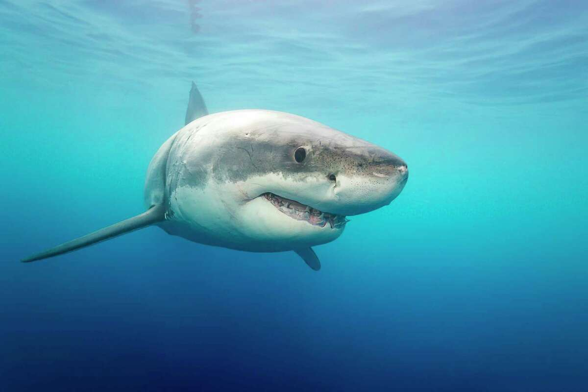 GUADALUPE ISLAND, MEXICO - SEPTEMBER 8: A great white shark photographed on September, 8, 2015 near Guadalupe Island, Mexico. Great white sharks emerge from the water with their jaws open in the clear blue waters of the Pacific Ocean. The incredible animals were photographed off the the coast of Guadalupe Island- a small volcanic island roughly 150 miles off the coast of Mexico's Baja California peninsula. There is thought to be roughly 170 great white's near the island- making it one of the best places in the world for divers to spot them. PHOTOGRAPH BY David Fleetham / Barcroft India UK Office, London. T +44 845 370 2233 W www.barcroftmedia.com USA Office, New York City. T +1 212 796 2458 W www.barcroftusa.com Indian Office, Delhi. T +91 11 4053 2429 W www.barcroftindia.com (Photo credit should read David Fleetham / Barcroft India / Barcroft Media via Getty Images)