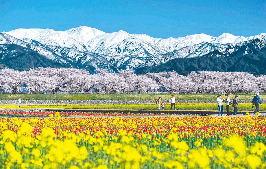 "Spring flowers like cherry blossoms, tulips and canola blossoms recently reached full bloom in Asahi, Toyama Prefecture, Japan, allowing visitors to enjoy a landscape of vivid colors spread all over. Local people call this scenery ""Spring Quartet"" because the Northern Japanese Alps shining white behind add a fourth color. Photo: Japan News-Yomiuri / Japan News-Yomiuri"
