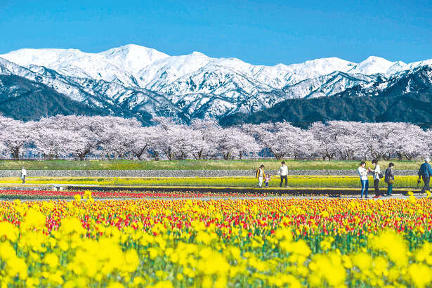 "Spring flowers like cherry blossoms, tulips and canola blossoms recently reached full bloom in Asahi, Toyama Prefecture, Japan, allowing visitors to enjoy a landscape of vivid colors spread all over. Local people call this scenery ""Spring Quartet"" because the Northern Japanese Alps shining white behind add a fourth color."