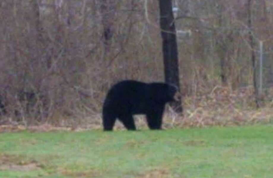 A bear was seen by various residents in Torrington, Conn. Police say the bear went back into the woods. Photo: Contributed Photo / Torrington Police Department / Contributed Photo / Connecticut Post Contributed