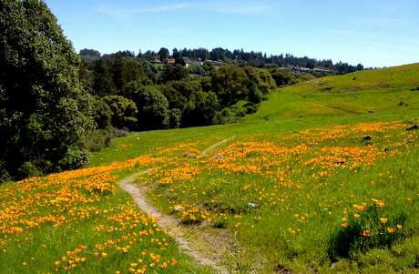 A raft of California poppies bloom on the hillside of�Serpentine Prairie Preserve, part of Redwood Regional Park p.p1 {margin: 5.0px 0.0px 5.0px 0.0px; font: 12.0px 'Times New Roman'}