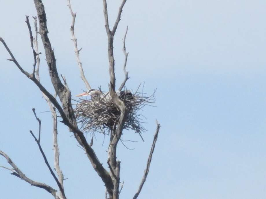 A great blue heron sits on its nest at a rookery at the Ballston Creek Preserve in Round Lake, which was donated to Saratoga PLAN by the Peterson family in 2005. The trails still have many original signs made by the former owners: Pat and Sven. After only 50 years since it was farmed, it now returning to woodland and is home to great blue herons and great horned owls, among others. (Photo provided)