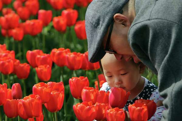 Visitors enjoy the fields in full bloom at the annual Skagit Valley Tulip Festival, Sunday, April, 21, 2019. The festival wraps up at the end of April.