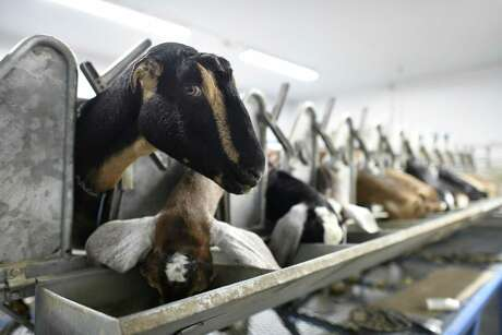 Goats are fed as they are milked at Goatilicious LLC, in New Braunfels on Tuesday, April 9, 2019.