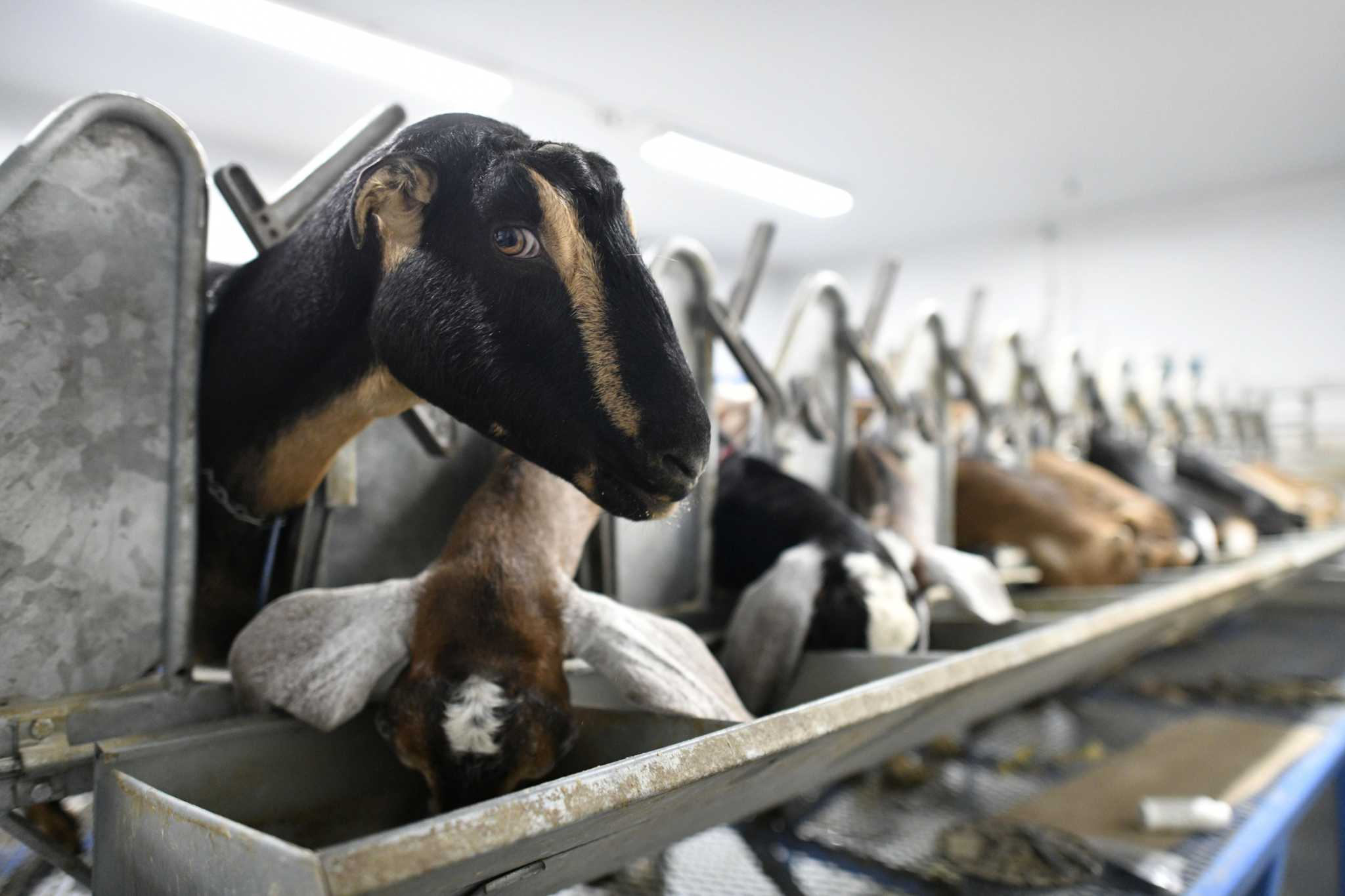 Podcast: Goats: Yes. Goats at dinner theater: No.