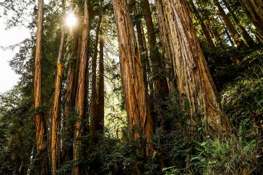 The sun peers through Redwood trees at Muir Woods in Mill Valley, California, on Monday, April 22, 2019. Photo: Gabrielle Lurie / The Chronicle