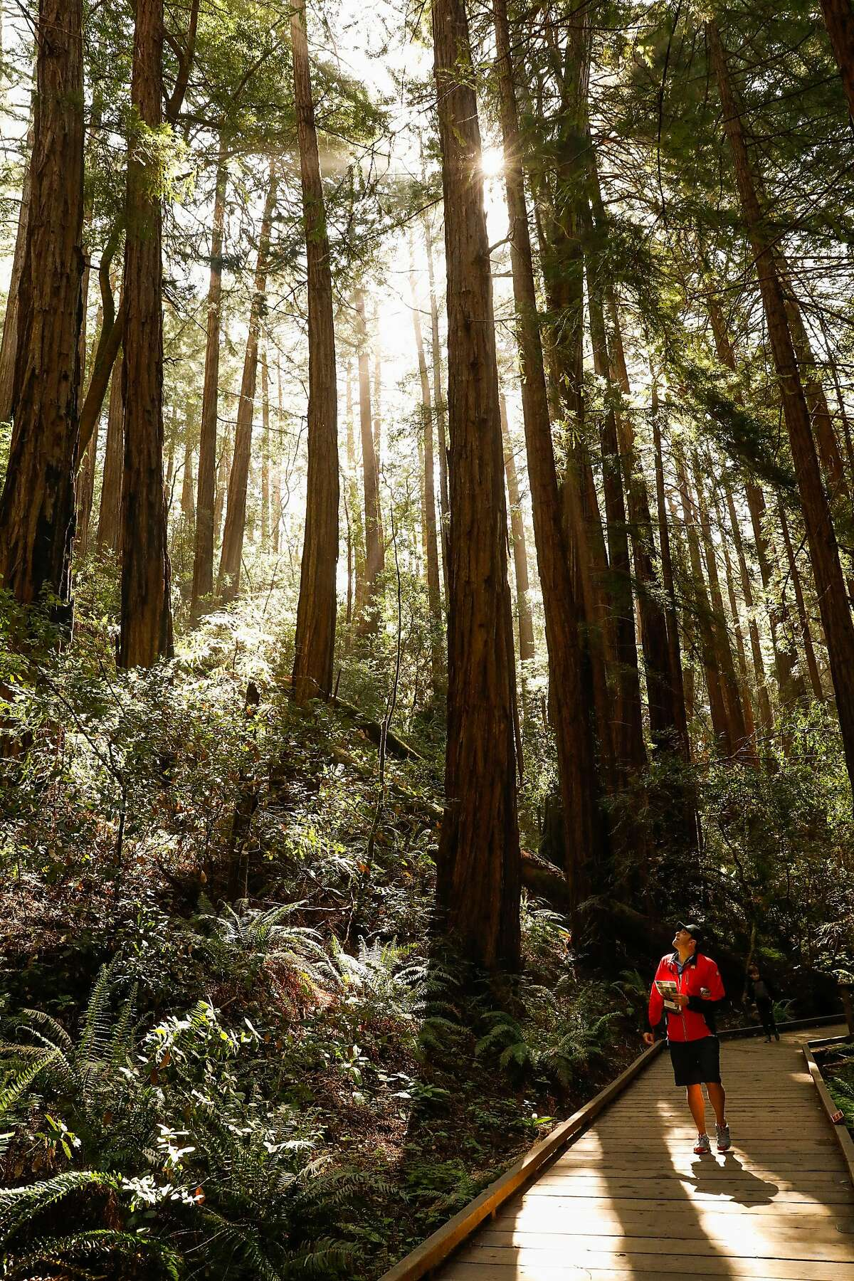 A man looks at Redwood trees as he walk through Muir Woods in Mill Valley, California, on Monday, April 22, 2019.