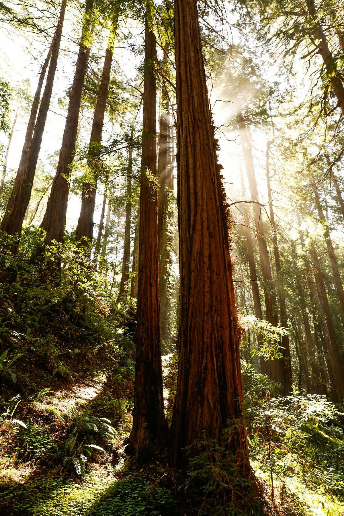 The sun peers through Redwood trees at Muir Woods in Mill Valley, California, on Monday, April 22, 2019.
