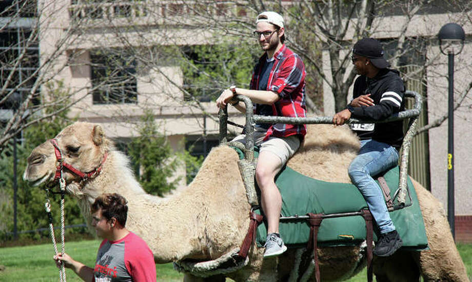 "SIUE students took turns riding a dromedary camel around a lazy loop in the Dunham Lawn Monday as Springfest 2019 launched. Students could ride a camel and take advantage of free kettle corn. Besides the camel rides and kettle corn, Springfest events include a chance for students test their ""Game of Thrones"" trivia mastery during a Wings & Trivia event at 7 p.m. Monday. Photo: Charles Bolinger 