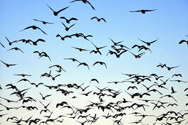 A flock of white-fronted geese fly over Miyajimanuma pond in Bibai, Hokkaido,Japan, Tuesday morning. The pond, designated as a wetland of international importance under the Ramsar Convention, is the final Japanese stopover on the migrant birds' annual journey from Honshu to Russia's far east. About 65,000 have gathered at the pond this year, blanketing the dawn sky when they take off from a feeding site each morning. They will head for Russia in early May.