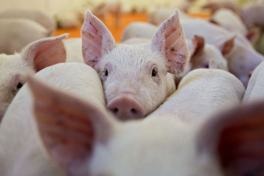 Three-week-old pigs stand in a nursery at the Paustian Enterprises farm in Walcott, Iowa, in April 2018. Last week, China announced $50 billion worth of tariffs on American products including soybeans and pork. Photo: Bloomberg Photo By Daniel Acker / Bloomberg