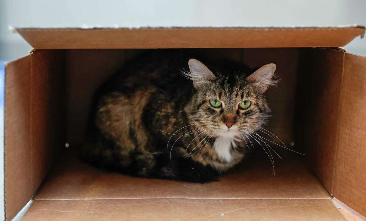 Ninja is a 9-year-old, female, brown tabby DLH cat and is ready to be adopted from BARC Houston. (Animal ID: A1619364) Ninja came to the shelter because her family passed away, so poor Ninja and her two siblings, Gage and Blaze, ended up at BARC. She's only ever known one home, and she loved it. She has lived with cats, children, dogs, and enjoys snuggling with her family in bed at night. She is terrified of the shelter, and prefers to sit in a box for the time being.