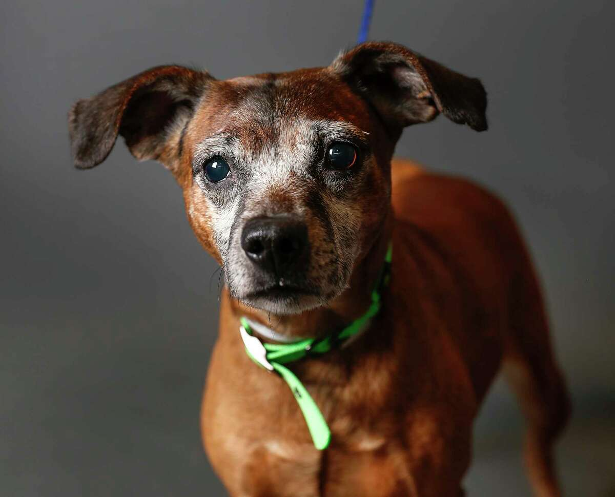 Derrick is a 6-year-old, male, Italian Greyhound/Chihuahua mix and is ready to be adopted from BARC Houston. (Animal ID: A1620550) Derrick came to BARC after his family passed away. He has lived with a larger dog before, and is hoping to get out of the shelter soon!