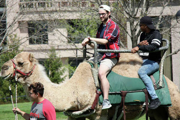 "SIUE students took turns riding a dromedary camel around a lazy loop in the Dunham Lawn Monday as Springfest 2019 launched. Students could ride a camel and take advantage of free kettle corn. Besides the camel rides and kettle corn, Springfest events include a chance for students test their ""Game of Thrones"" trivia mastery during a Wings & Trivia event at 7 p.m. Monday."