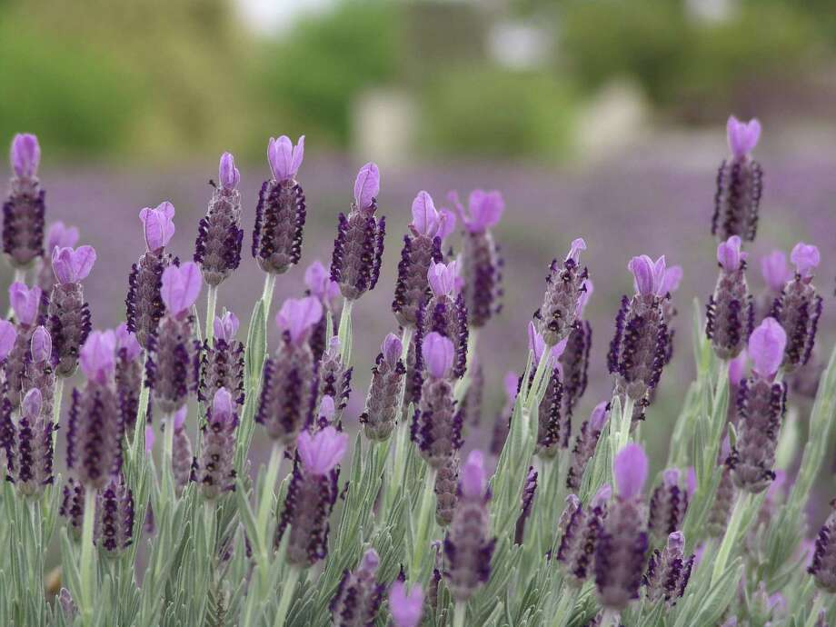 Becker Vineyards will hold its annual Lavender Festival May 4-5. Photo: Becker Vineyards