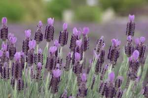 Becker Vineyards will hold its annual Lavender Festival May 4-5.