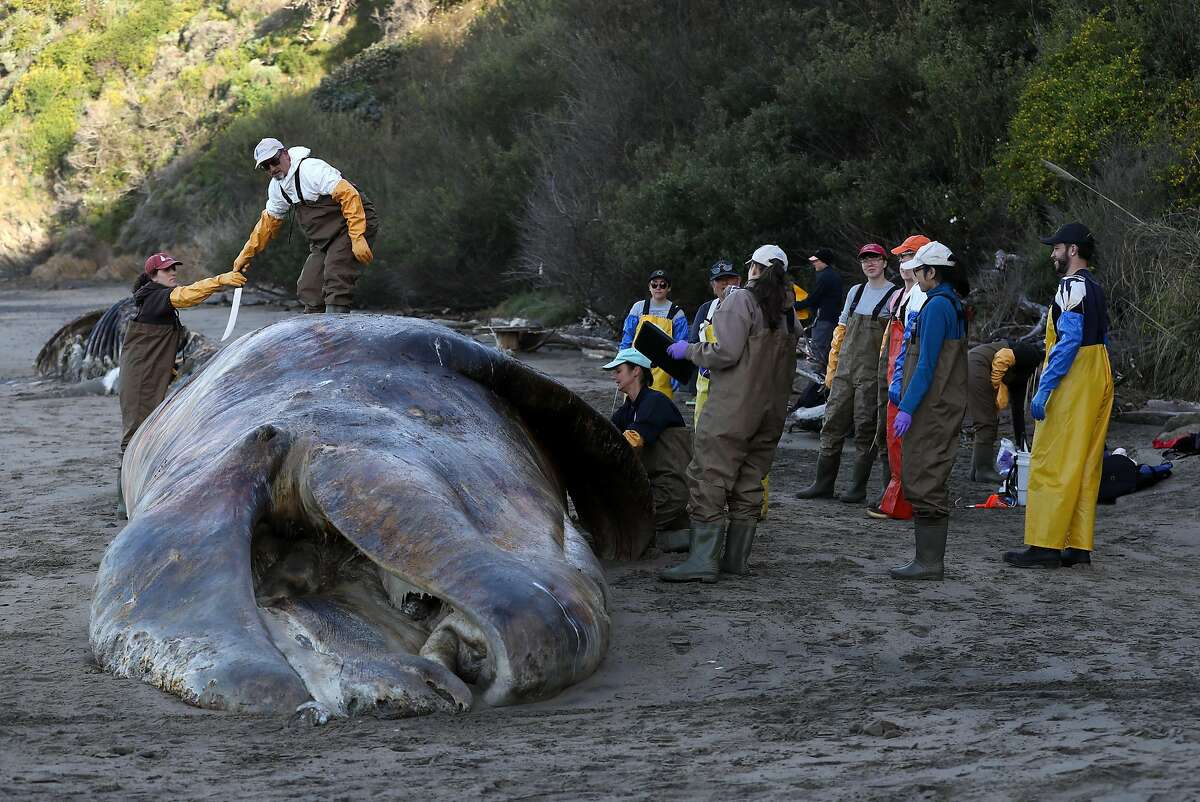 TIBURON, CALIFORNIA - APRIL 23: Marine Mammal Center Director of Veterinary Science Dr. Pádraig J. Duignan stands on top of a beached grey whale as scientists and volunteers with the Marine Mammal Center and California Academy of Sciences perform a necropsy on the whale on April 23, 2019 in Tiburon, California. Scientists are studying the causes of death of 7 whales that have washed up on the shores of the San Francisco Bay and along the coast in the past month. It was determined that four of the whales died from malnutrition and three have died from ship strikes. (Photo by Justin Sullivan/Getty Images)