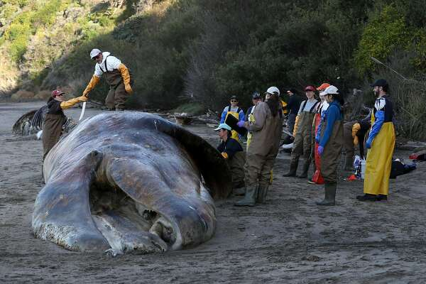 Gray whales starving, washing up dead in startling numbers along SF coast