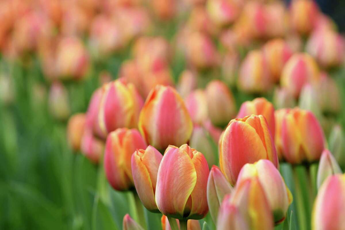 Saturday and Sunday, Albany's 2019 Tulip Festival featuresmusic, craft and food vendors and the crowning of the Tulip Queen (Saturday) and Mother of the Year (Sunday) at Washington Park. Full schedule.