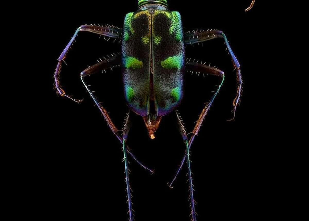 A Tiger Beetle.