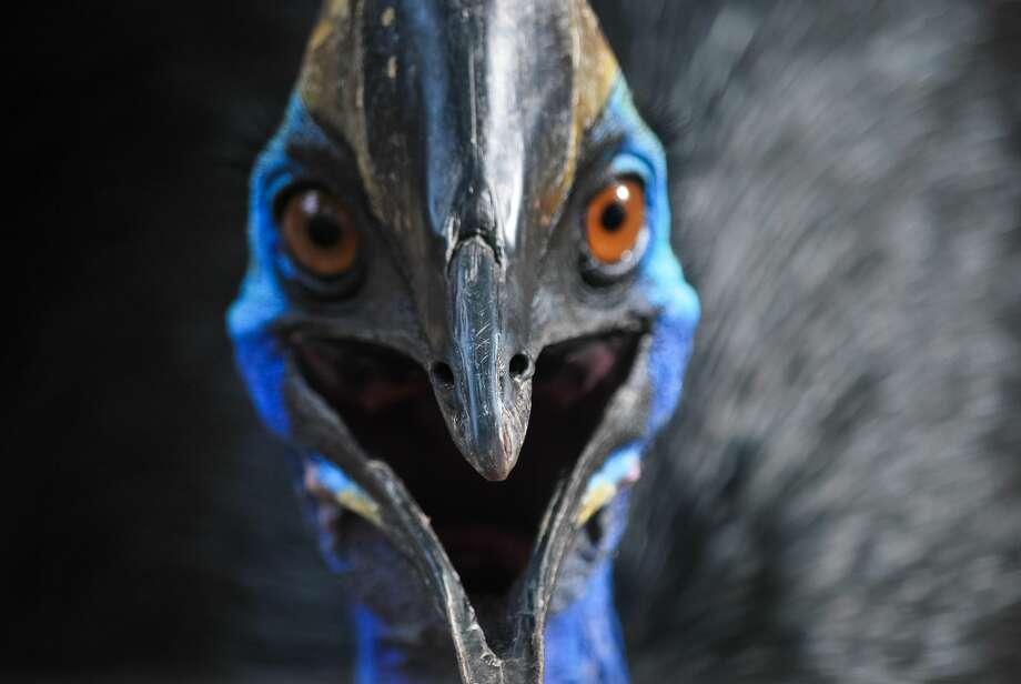A southern cassowary, similar to the one that killed its owner in Florida. Photo: Kurdiansyah Kurdiansyah / EyeEm/Getty Images/EyeEm