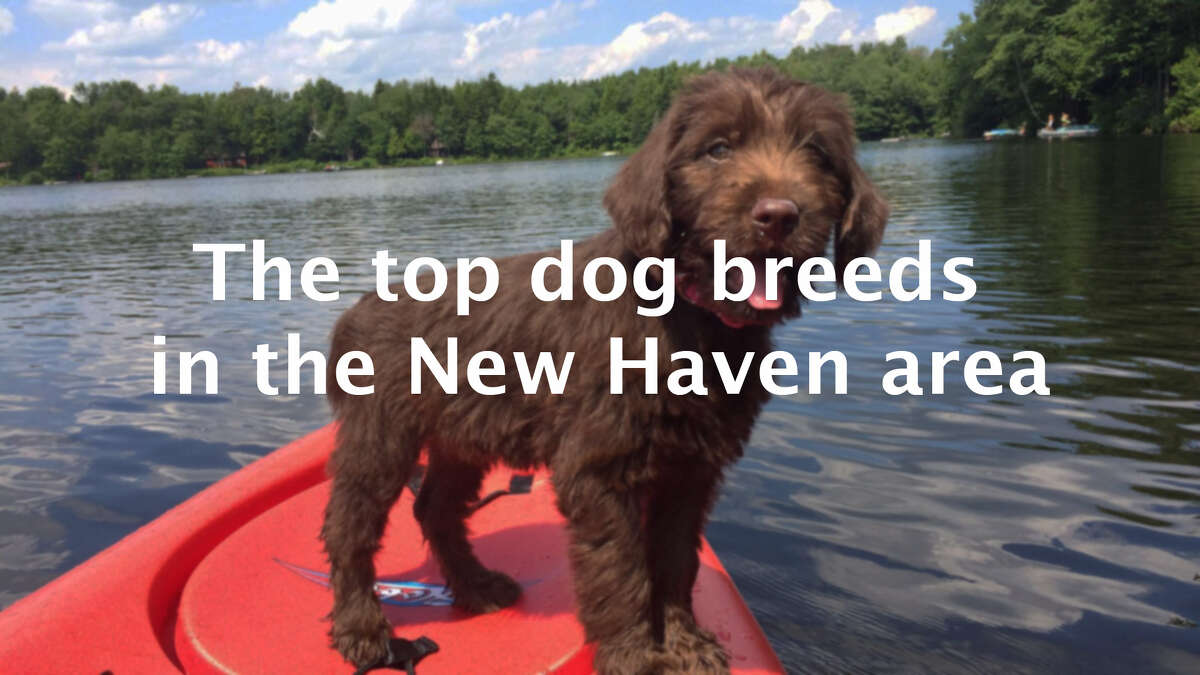 Sure you may think your pup is the absolute cutest, but is it one of the most popular breeds in the area? Scroll through the slideshow to see the top 20 dog breeds in the New Haven area.