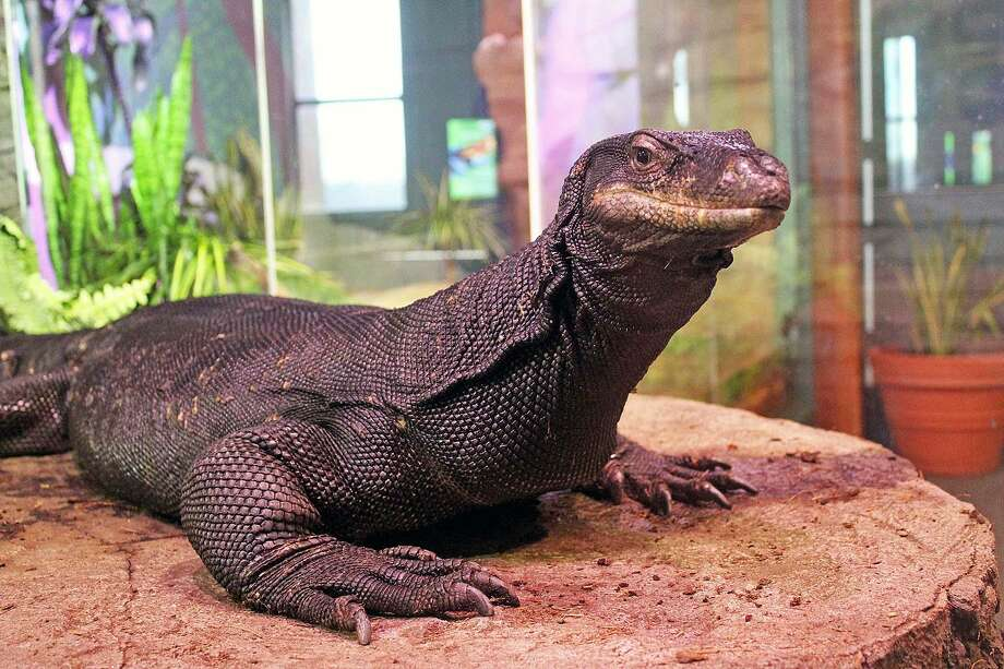 The 7-foot-long animal, formally known as an Asian water monitor lizard, died overnight Monday, April 22, 2019, at the Maritime Aquarium in Norwalk, Conn. Photo: Contributed Photo / Maritime Aquarium / Contributed Photo / Connecticut Post Contributed