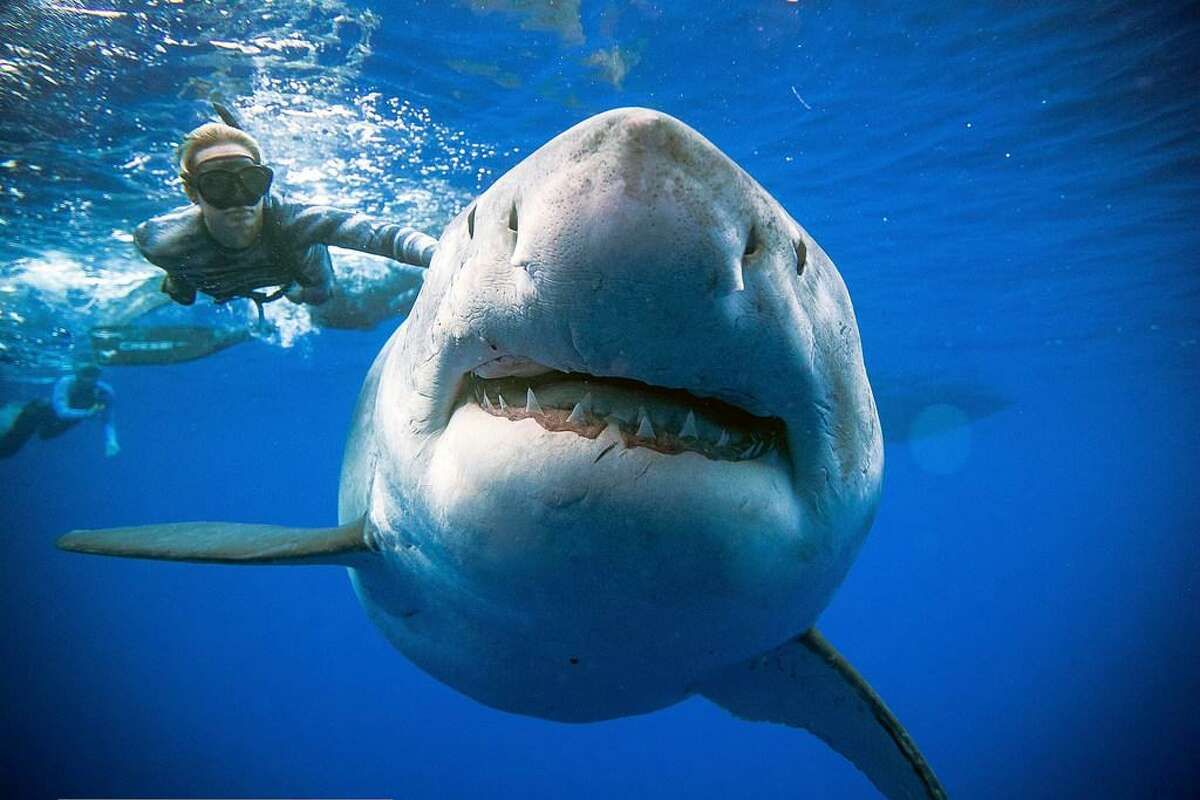 In this Jan. 15, 2019 photo provided by Juan Oliphant, Ocean Ramsey, a sharkresearcher and advocate, swims with a large great white shark off the shore of Oahu. Ramsey told The Associated Press on Thursday, Jan. 17 that images of her swimming next to a huge great white shark prove that these top predators should be protected, not feared. (Juan Oliphant via AP)