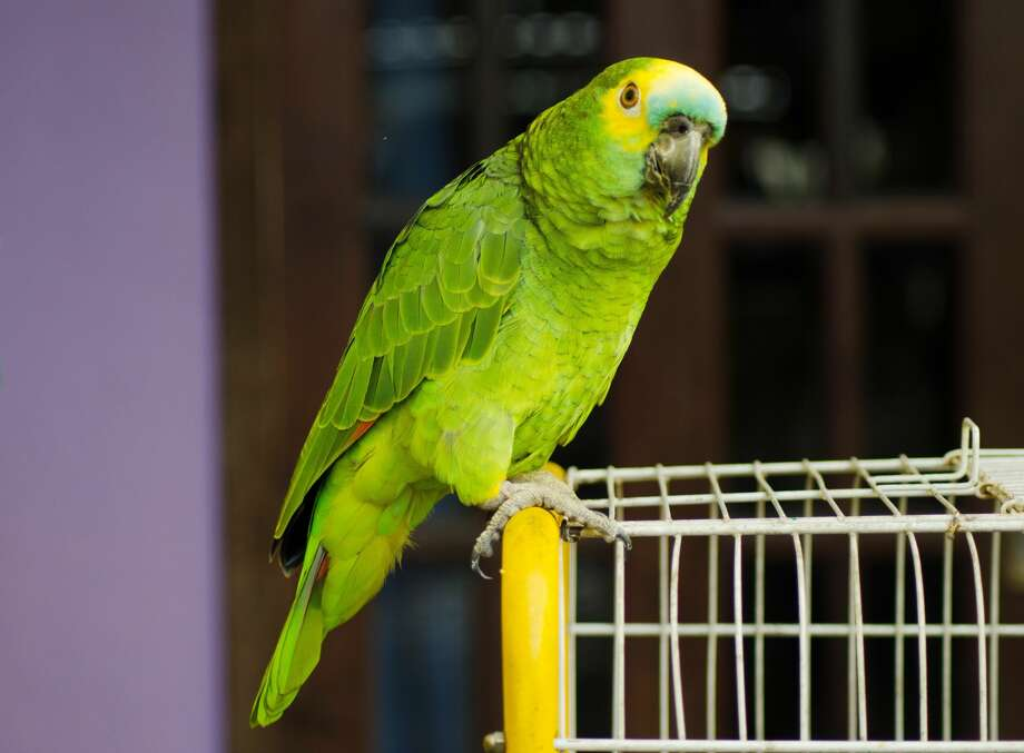 "A parrot was taken into custody Monday after nearly spoiling a raid while playing lookout for two crack-dealing suspects by repeatedly yelling, ""Mamãe, polícia!"" This is a stock photo of a parrot. Photo: Mayara Klingner / EyeEm/Getty Images/EyeEm"