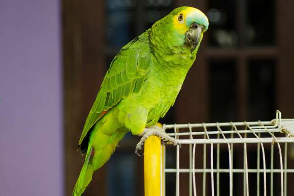 Police encountered the unnamed parrot at the home of the two alleged crack cocaine dealers, perched inside a small brick one-story home with a windowless facade, Brazil's R7 news channel reported. This is a stock photo of a parrot.