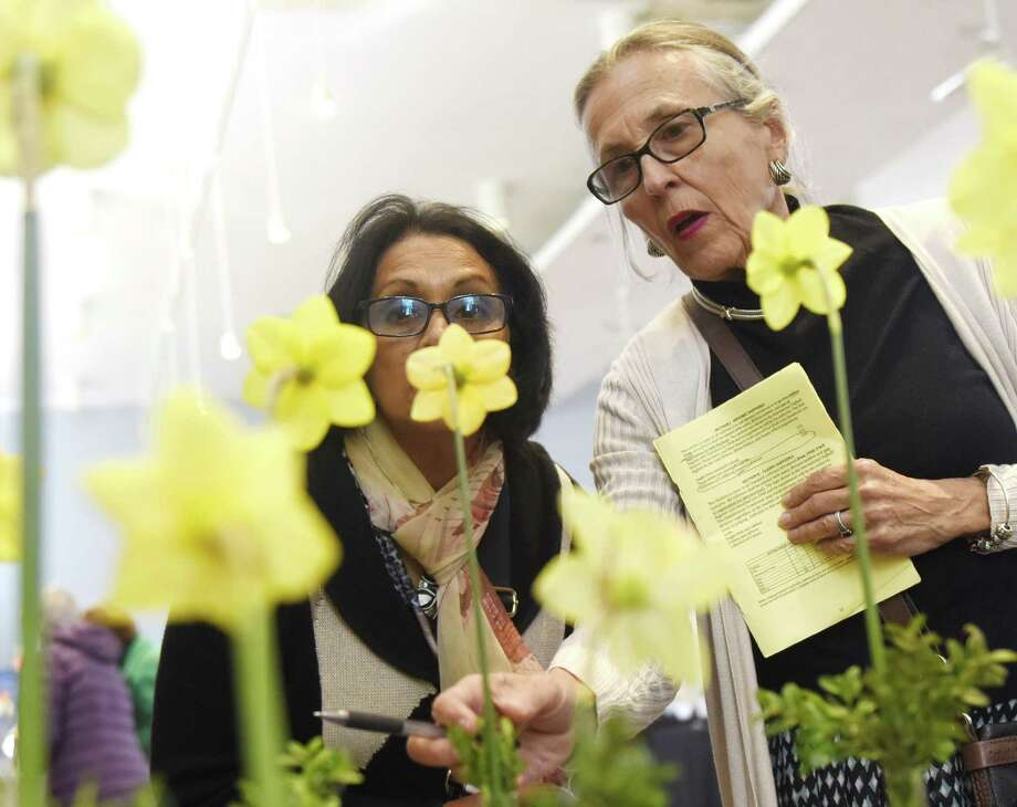 Norwalk's Wave Issurdatt, left, and Stamford's Barbara Deysson examine entries in the large-cupped daffodil category at the Greenwich Daffodil Society's Sixty First Annual Connecticut Daffodil Show at Christ Church in Greenwich, Conn. Thursday, April 25, 2019. In addition to daffodil entries in the horticulture division, the show featured an artistic section including flower arrangement and photography. Photo: Tyler Sizemore / Hearst Connecticut Media / Greenwich Time