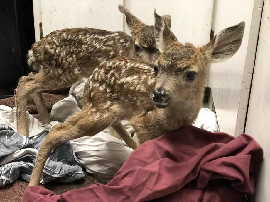 Two newborn fawns were rescued by WildCare on Thursday morning. Photo: WildCare
