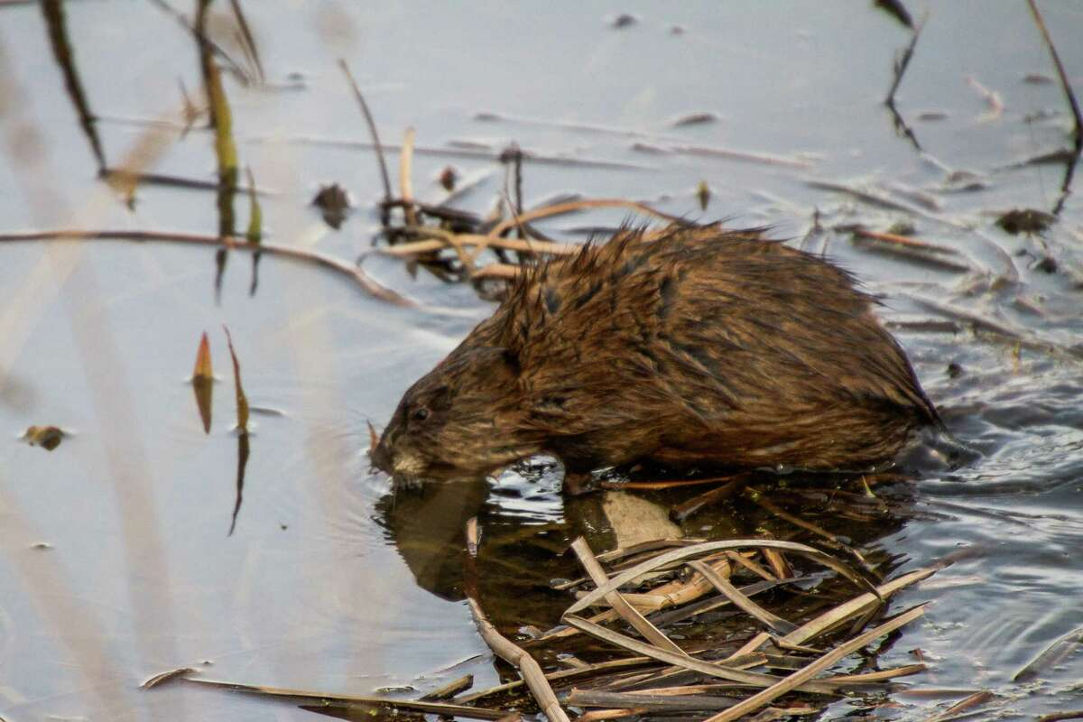 Amber Bradbury recently went on a little walk in the Vischer Ferry Nature Preserve. The menagerie she spotted included a beaver.
