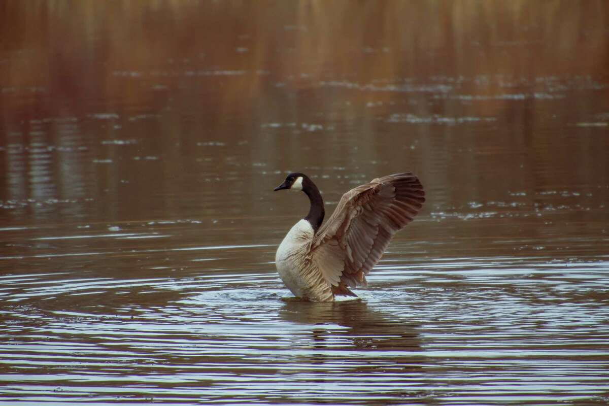 Amber Bradbury recently went on a little walk in the Vischer Ferry Nature Preserve. The menagerie she spotted included a goose.
