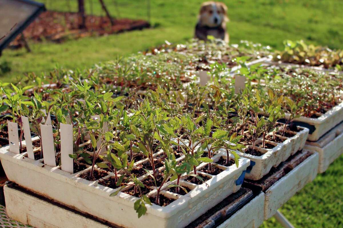This undated photo shows seedlings in New Paltz, N.Y. Gradual exposure of seedlings to outdoor conditions readies them for eventual planting out in the garden. (Lee Reich via AP)